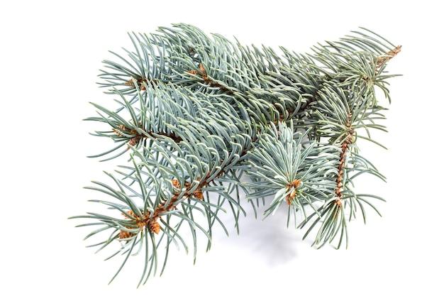 흰색 배경에 고립 된 블루 가문비 나무의 분기