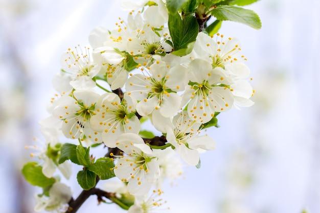 白い花とさくらんぼの枝。桜の花