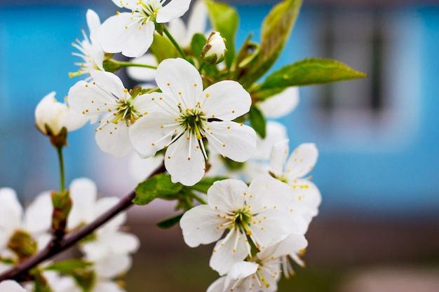 家の背景に白い花と桜の枝_