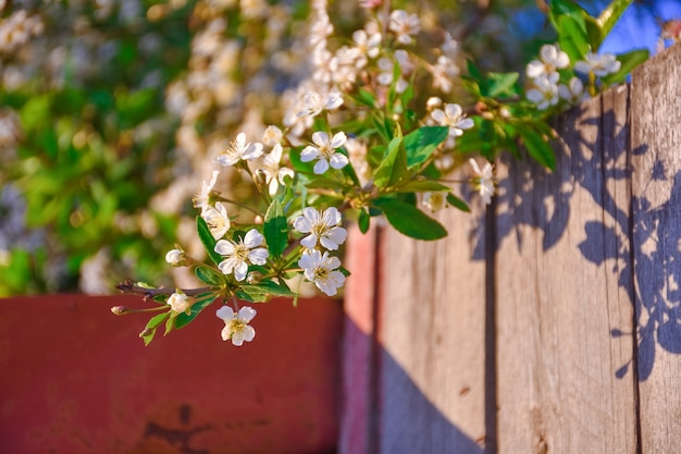 フェンスからぶら下がっている桜の枝