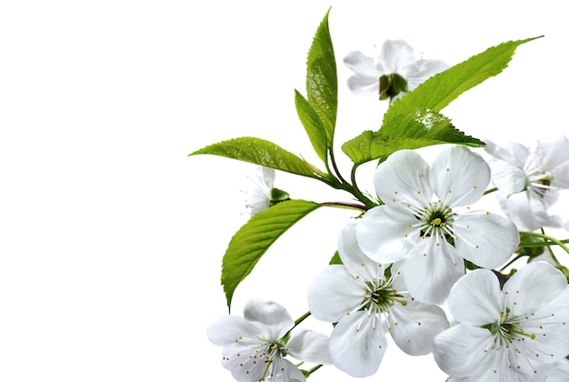 桜の花の枝をクローズ アップで孤立した白い背景
