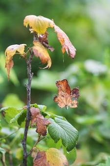 乾燥した葉と秋にウェブとスグリの枝
