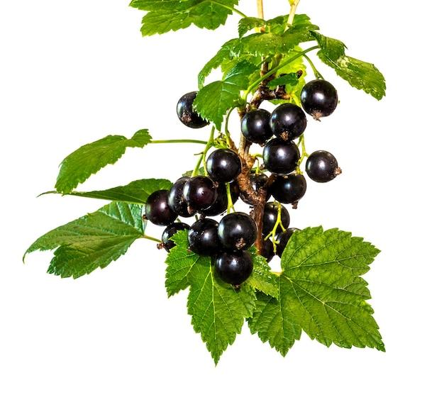白い孤立した背景に果物と葉を持つスグリの枝_