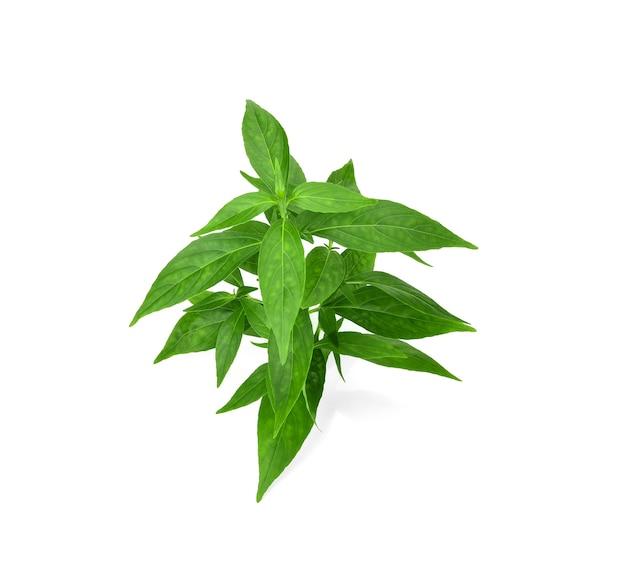 白い背景で隔離の新鮮なandrographispaniculataの葉の枝。タイの薬草植物のコンセプト。