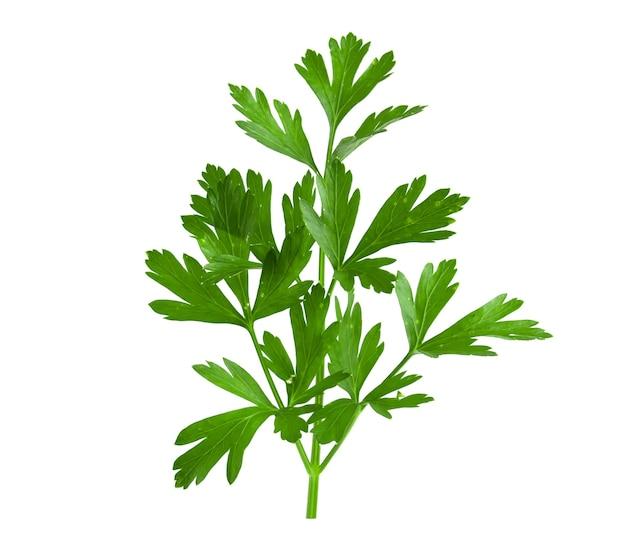 신선한 녹색 파 슬 리 흰색 배경에 고립의 분기입니다.