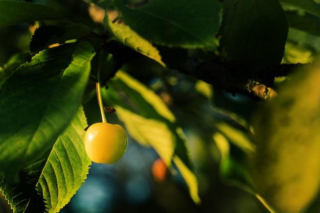 Филиал свежей натуральной желтой вишни. свежий, натуральный, здоровый. желтые вишни на ветке