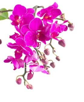 新鮮な紫蘭の花とつぼみの枝