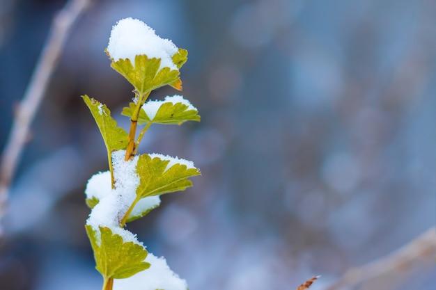 雪に覆われた葉の下にあるグーズベリーの枝、text_のための空きスペース
