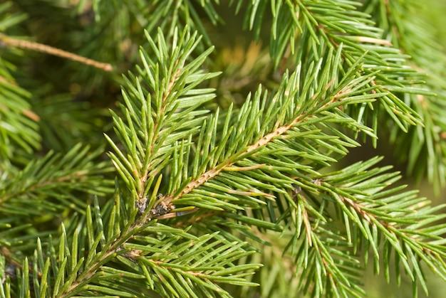 緑のクリスマスツリーの枝