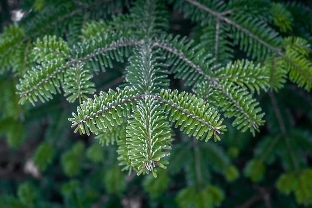 松の背景に緑の松の木の枝。