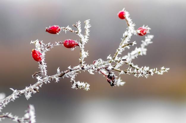 Ветка шиповника с красными ягодами, покрытая инеем