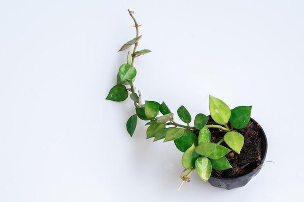 黒い鍋にhoya krohnianaの枝を白い背景に分離します。hoyalacunosa(ハートリーフ)を閉じます