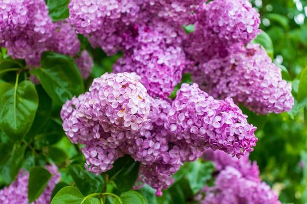 녹색 잎 라일락 꽃의 분기 큰 라일락 분기 꽃 밝은 꽃 라일락 부시