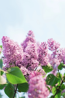 葉とライラックの花の枝青い空