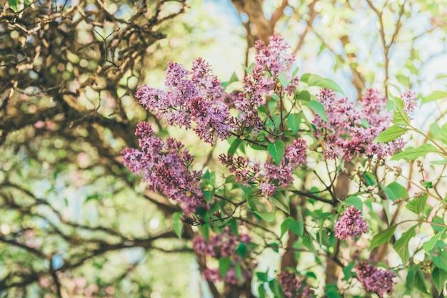 葉とライラックの花の枝、太陽の光でビンテージレトロな流行に敏感なイメージ