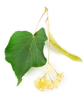 白い背景で隔離のリンデンの花の枝