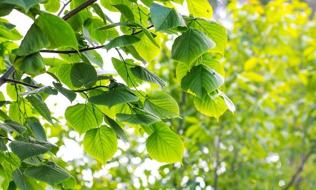 緑の葉を持つリンデンの枝