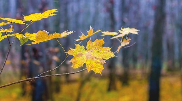 森の木々に黄色の葉が付いたカエデの枝