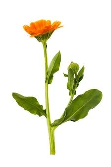 약용 속성을 가진 식물의 흰색 표면 근접 촬영에 고립 된 메리 골드의 지점