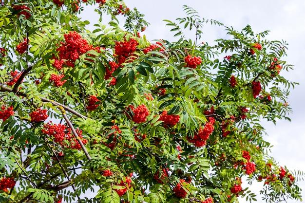 Ветка рябины с красными спелыми ягодами