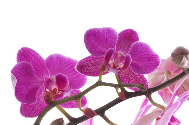 白い背景の上の蘭の花(胡蝶蘭)の枝