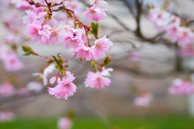 ピンクのリンゴの花の枝