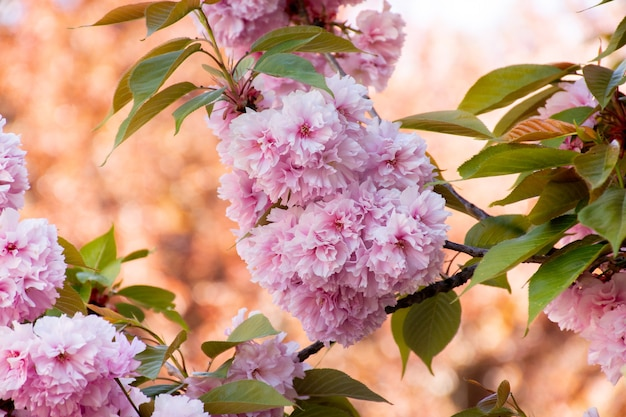 桜の木のピンクの花の枝