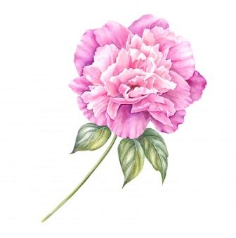 春のデザインに分離されたピンクの牡丹の枝。