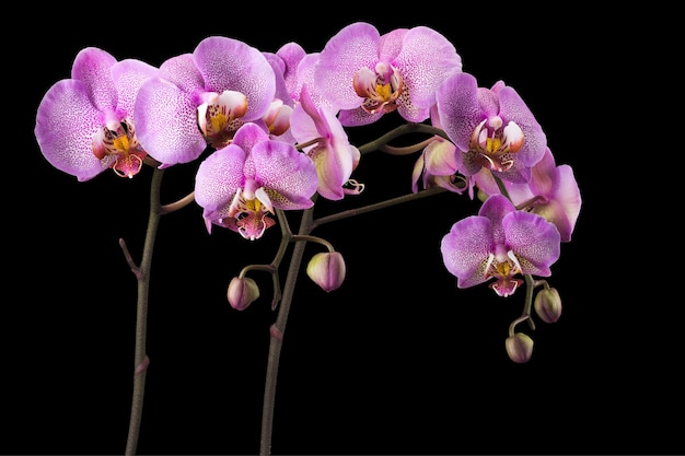 Филиал розового фаленопсиса или орхидеи моли из семейства orchidaceae, изолированные на черном фоне с обтравочным контуром