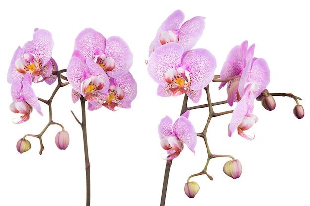 分離されたラン科からのピンクのファレノプシスまたはコチョウランの枝
