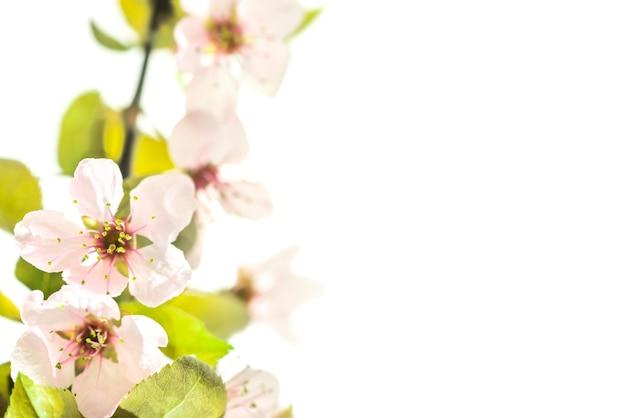 白い背景で隔離の緑の葉を持つピンクの梅の花の枝