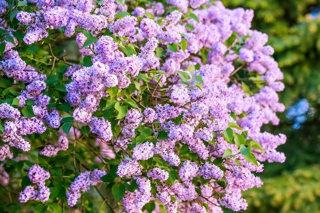 葉と紫のライラックの花の枝