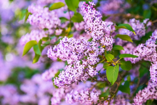 葉と紫のライラックの花の枝 Premium写真