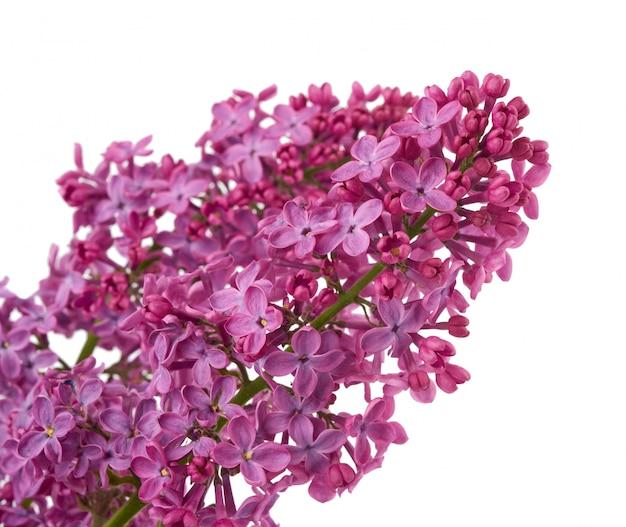 Ветка фиолетовой сирени с цветами на белом фоне