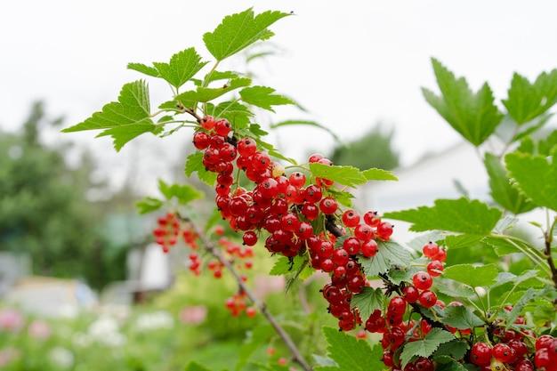 屋外の赤スグリの枝