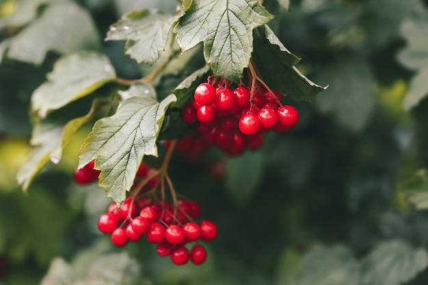 赤いガマズミ属の木の枝。葉が屋外にあるガマズミ属の木(グエルダーローズ)の果実。ウクライナの国の象徴。トーンの画像。セレクティブフォーカス