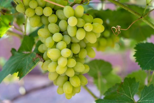 정원에서 익은 포도의 분기입니다. 과일 정원의 포도 덤불에서 자라는 녹색 달콤한 열매. 확대