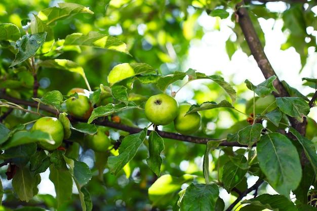 庭で熟した青リンゴの枝