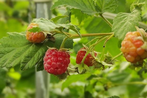 Филиал спелой малины в саду. красные сладкие ягоды, растущие на кусте малины в фруктовом саду.