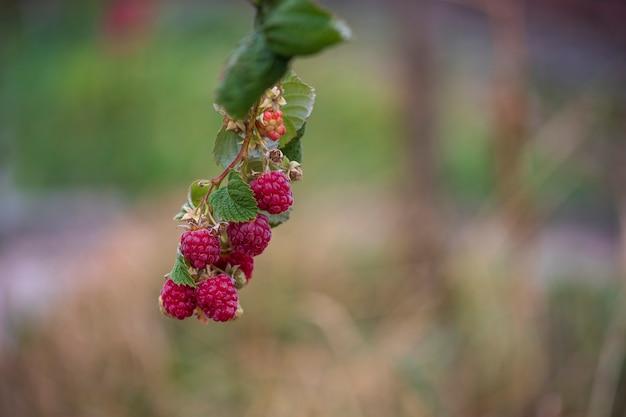 Филиал спелой красной малины в саду, крупным планом