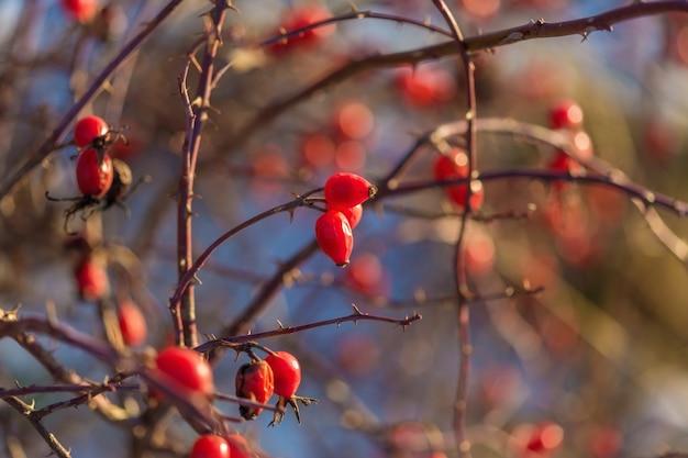 Филиал спелых ягод шиповника на фоне белого снега