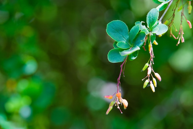 水滴で雨が降った後、熟している赤いメギの枝