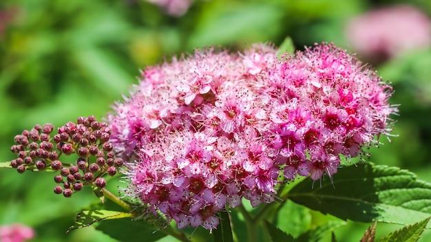 ピンクの小さな花でシモツケが咲くシモツケの枝