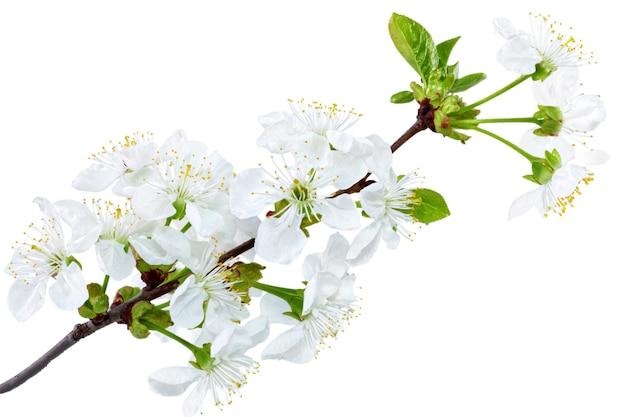 꽃 무늬의 분기입니다. 흰색 배경에 고립.
