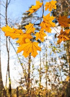 Ветвь клена с желтыми листьями на фоне голубого неба осенью
