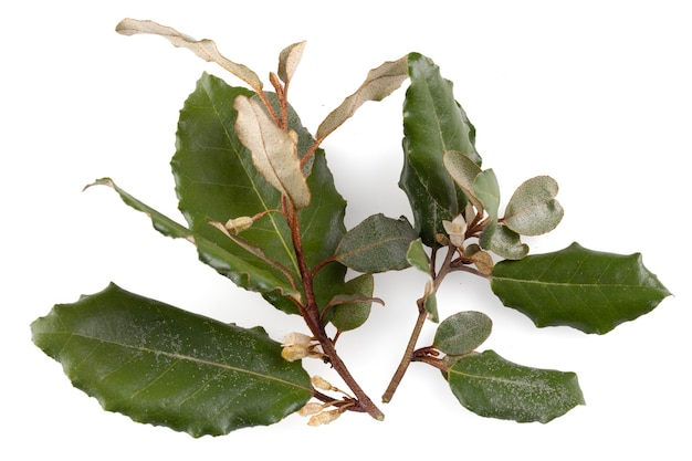 관목 elaeagnus의 가지 - elaeagnus ãƒâ—ebbingei - 흰색 바탕에