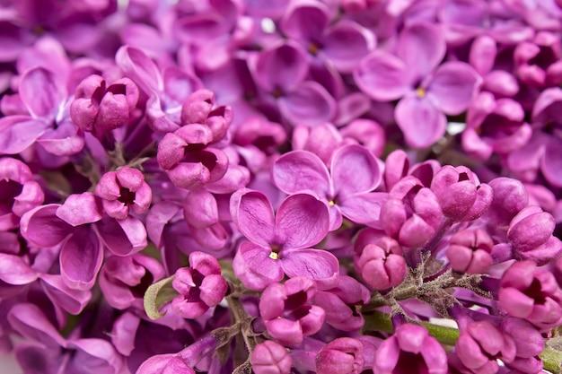 보라색 라일락 꽃 근접 배경의 지점