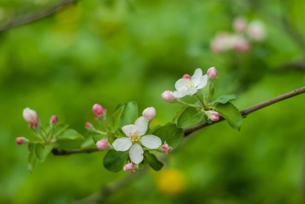 흰색과 분홍색 꽃의 분기 봄 날에 꽃이 만발한 사과 나무.