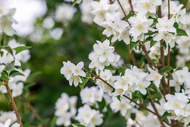 Филиал белых цветов жасмина в саду