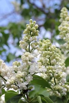 春のクローズ アップで白いライラック色の花の枝